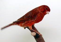 kanarie-rood